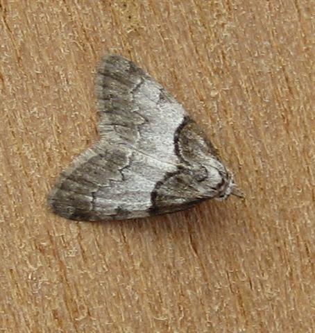 Short Cloaked Moth. Copyright: Stephen Rolls