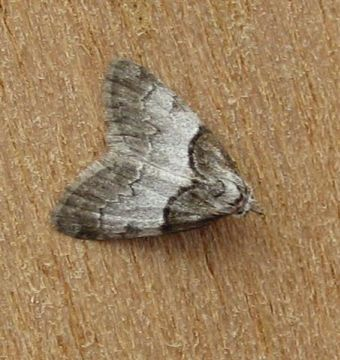 Short Cloaked Moth. Copyright: Stephen Rolls