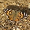 Painted Lady Copyright: Robert Smith