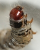 Dark Arches larvae head Copyright: Robert Smith