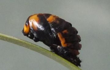 Coccinella 7-punctata pupa Copyright: Peter Pearson
