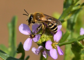 A mining Bee (Colletes halophilus) 09-10-2020 on sea rocket Copyright: Malcolm Riddler