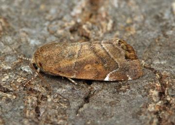 Lesser-spotted Pinion  Cosmia affinis Copyright: Graham Ekins