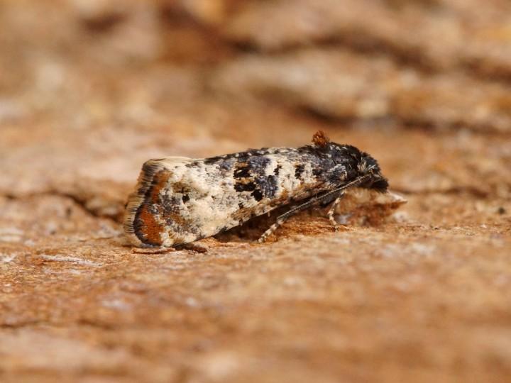 Hysterophora maculosana Copyright: Ben Sale