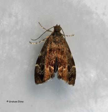 Anthophila fabriciana 4 Copyright: Graham Ekins