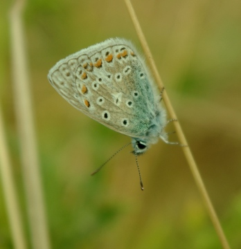 Common Blue - 20th August 2013 Copyright: Ian Rowing