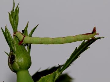 Streamer moth larva Copyright: Peter Furze