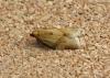 Clepsis consimilana 7 Copyright: Graham Ekins