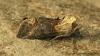 Dark Spectacle  Abrostola triplasia Copyright: Graham Ekins