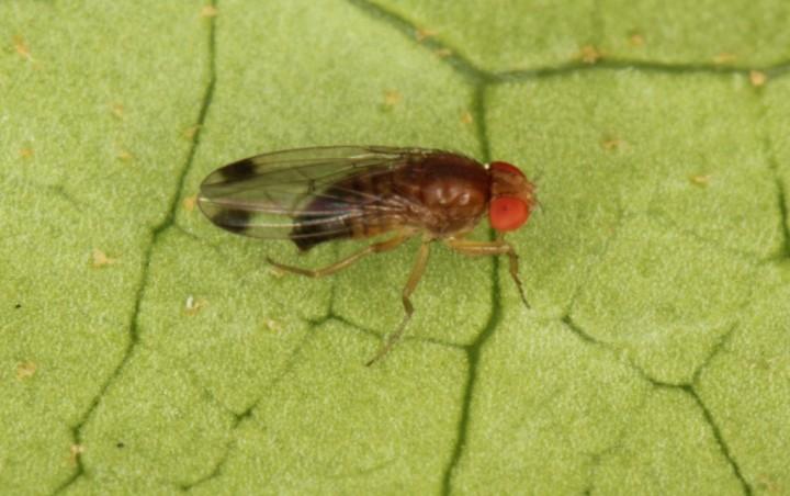 Drosophila suzukii male Copyright: Peter Harvey