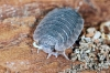 Porcellio scaber (1 May 11) Copyright: Leslie Butler