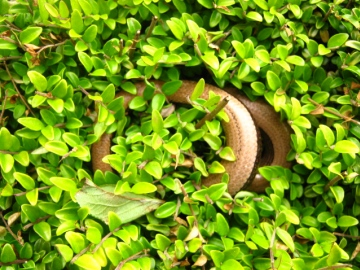 slow worm in bush Copyright: Kim Prowse