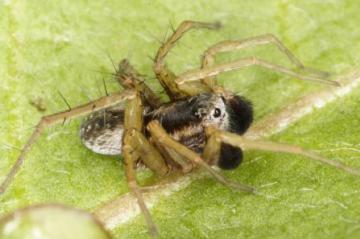 Pardosa nigriceps male