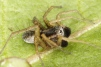 Pardosa nigriceps male Copyright: Peter Harvey