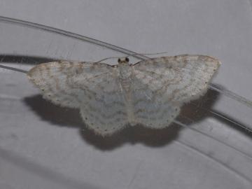 Asthena albulata Copyright: Peter Furze