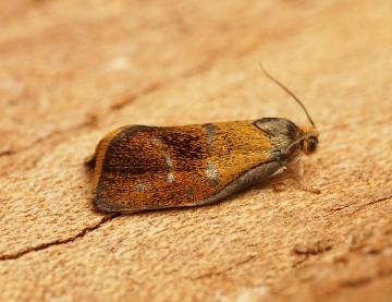 Ptycholoma lecheana 1 Copyright: Ben Sale