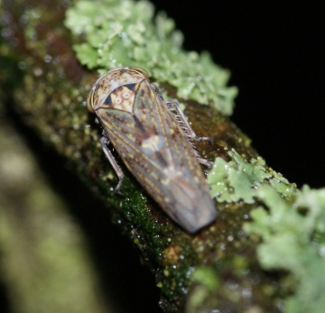 Acericerus vittifrons dorsal Copyright: Robert Smith
