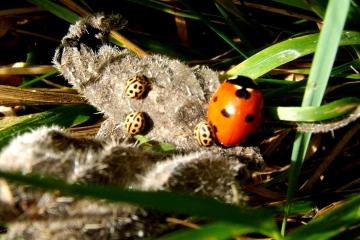 16-Spot Ladybirds sunning with 7-Spot Copyright: Peter Pearson