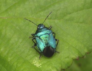 Blue Shield Bug Copyright: Malcolm Riddler