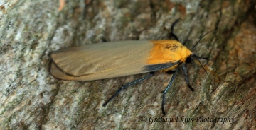 Lithosia quadra Four-spotted Footman 6 Copyright: Graham Ekins