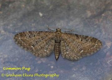 Common Pug  Eupithecia vulgata Copyright: Graham Ekins