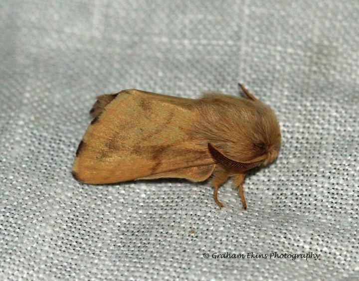 Ground Lackey Malacosoma castrensis Copyright: Graham Ekins