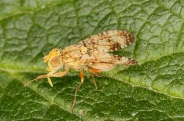Oxyna flavipennis Copyright: Peter Harvey