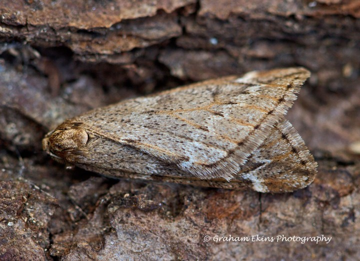 March Moth Alsophila aescularia Copyright: Graham Ekins