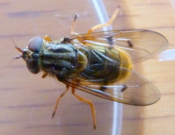 Ferdinandea cuprea female Copyright: Andrew Thompson