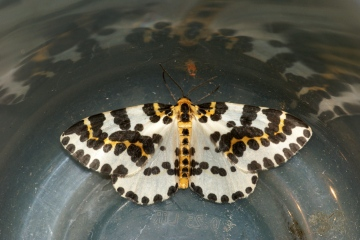 Magpie Moth 4 Copyright: Ben Sale
