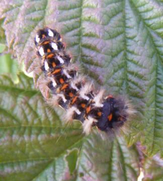 caterpillar Copyright: Martyn Everett