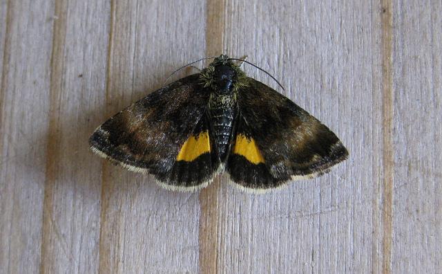 Small Yellow Underwing Copyright: Stephen Rolls