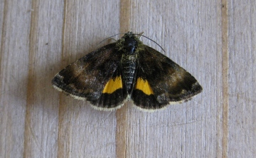 Small Yellow Underwing Copyright: Stephen Rolls
