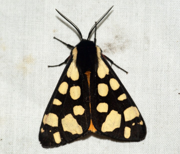 Cream-spot Tiger Moth 2 Copyright: Ben Sale