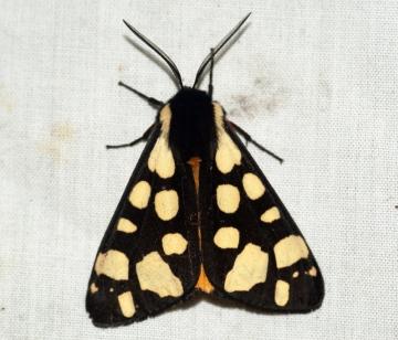 Cream-spot Tiger Moth 2 Copyright: Ben Sale