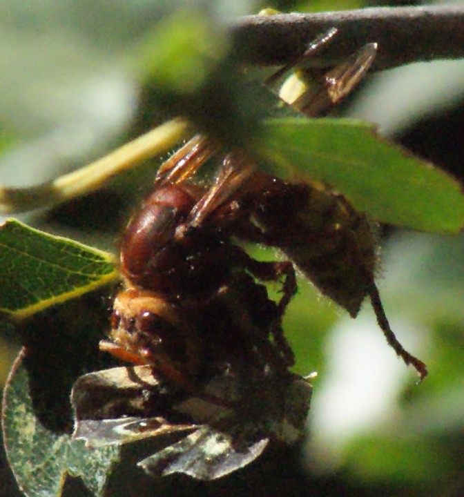 Hornet consuming Speckled Wood Copyright: Robert Smith