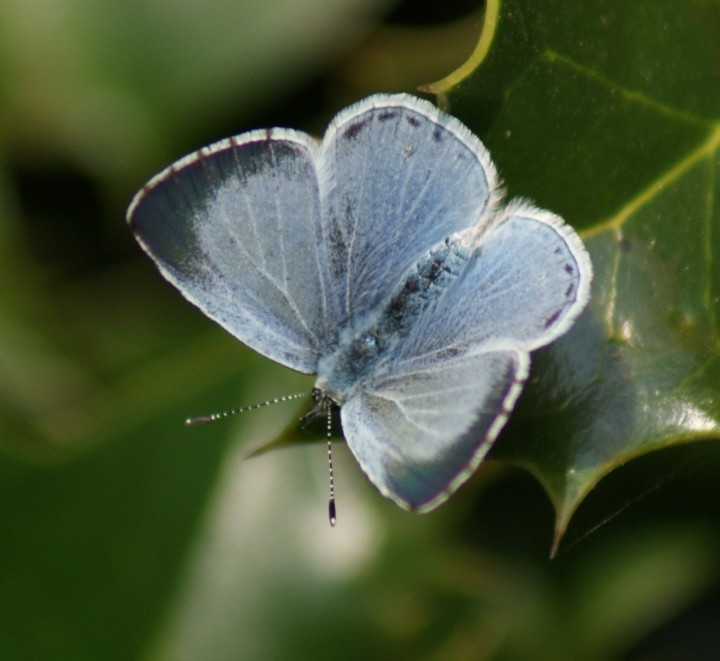 Holly Blue (female) Copyright: Robert Smith