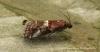 Acrobasis marmorea Copyright: Graham Ekins