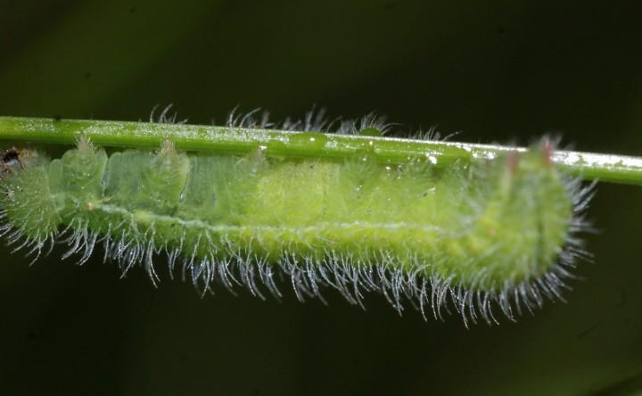 M jurtina larvae Copyright: Robert Smith