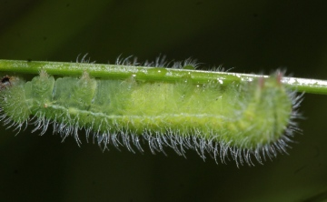M jurtina larvae Copyright: Robert Smith