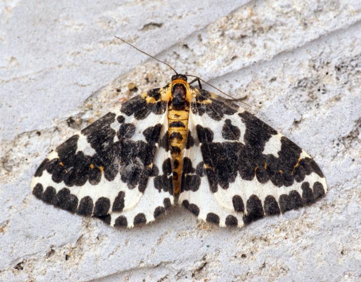 Magpie Moth 5 Copyright: Ben Sale