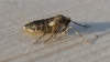Winter Moth Female. Copyright: Stephen Rolls