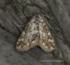 Elophila nymphaeata 2 Copyright: Graham Ekins