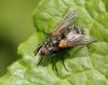 Pelatachina tibialis (male) 2 Copyright: Jeremy Richardson