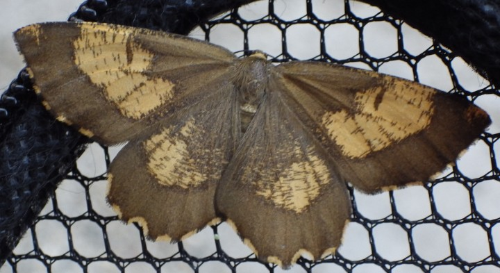 Orange Moth 1 Copyright: Jennifer Eva