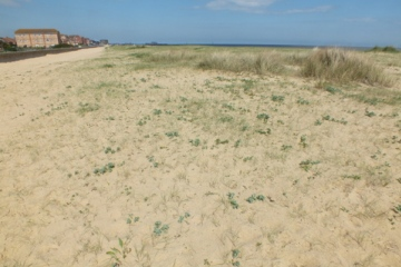 Sea Holly on dunes Copyright: Peter Pearson