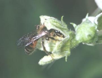 Andrena florea Copyright: Peter Harvey