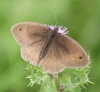 Meadow Brown (male) Copyright: Robert Smith