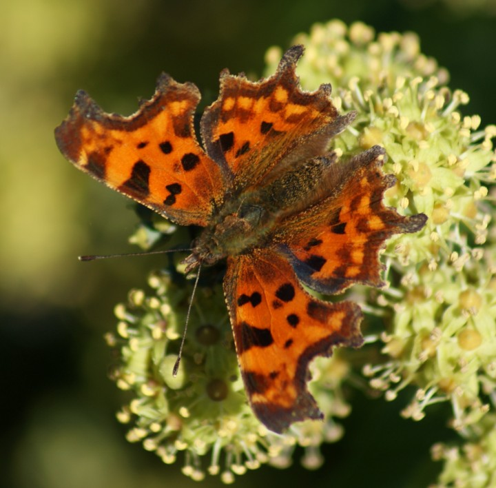 Comma (on ivy) Copyright: Robert Smith