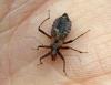 Himacerus mirmicoides  (Ant Damsel Bug) Copyright: Graham Ekins
